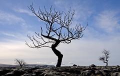 Twisted Tree (*MarkEden) Tags: trees canon limestonepavement polariser 40d