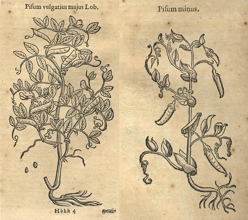 Images of Peas from Theophrastus (1644)