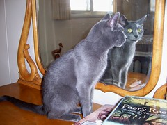 Hey There (k8southern) Tags: cats plum bluecat graycat