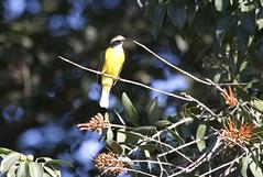12-7-07 Social Flycatcher-Fluvial Vallarta, Puerto Vallarta, MX (Sea Chest) Tags: socialflycatcher mexicanbirds fluvialvallarta puertovallartabirds