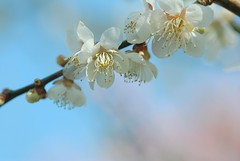 plum blossoms~ume (snowshoe hare*(back and slowly catching up)) Tags:  plumblossoms japaneseapricot  prunusmume