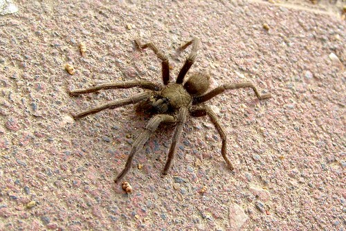 Local tarantula (Chaetopelma olivaceum)