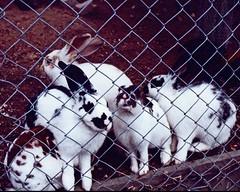 Cherry Island, Taupo, New Zealand, Animals, Cute Rabbits (Daves Portfolio) Tags: newzealand animals wildlife 1991 rabbits taupo tame waikatoriver cherryisland