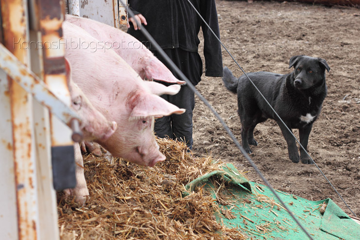 Pigs & Teddy (by KansasA)