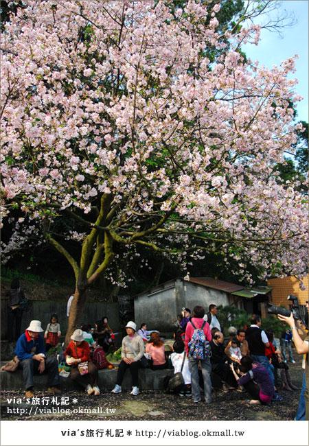【淡水天元宮櫻花】跟著via賞花趣~天元宮櫻花最新花況8