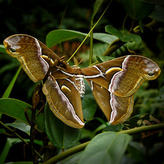 Atlas moth, largest moth in the world (Bn) Tags: topf50 southeastasia laos topf100 biodiversity attacusatlas atlasmoth s