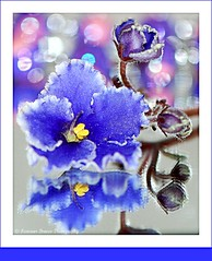 a time to reflect (Smme eeZe) Tags: blue flower macro reflection nature beauty yellow purple bokeh bloom timetoreflect bud africanviolet heartfelt soulmates inyoureyes unspokenwords butterflykisses myspecialfriend ursospecial