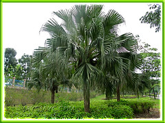 Livistona chinensis (Chinese Fan Palm, Fountain Palm) at the roadside
