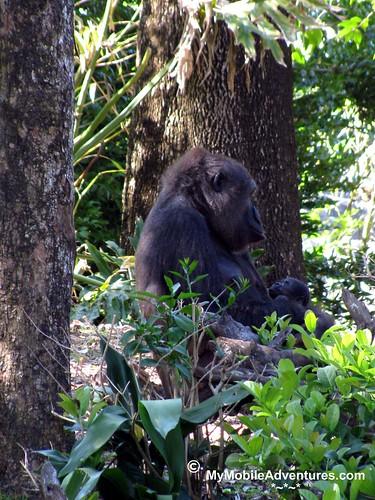 IMG_3150-WDW-DAK-gorilla