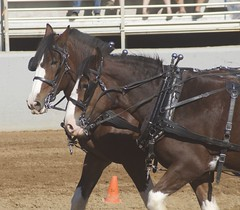 Clydesdale (Just chaos) Tags: from horse view you photos or everyone ungulate animalia mammalia equus domesticated equidae chordata perissodactyla oddtoed caballusx