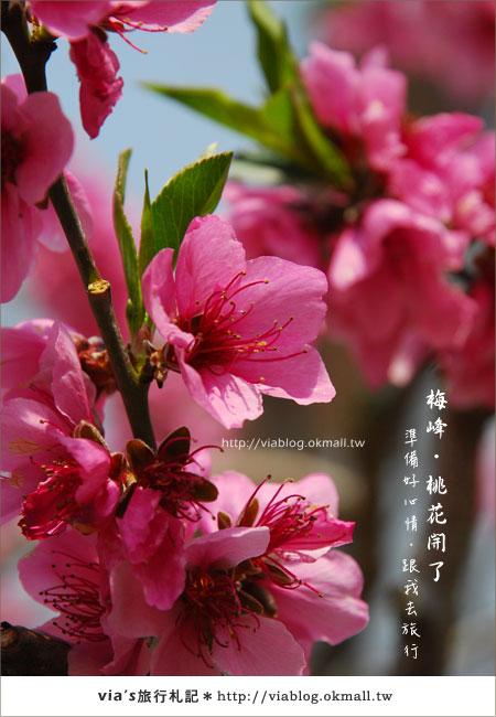 【梅峰農場桃花緣】最美的桃花隧道,就在南投梅峰這裡~(上)26