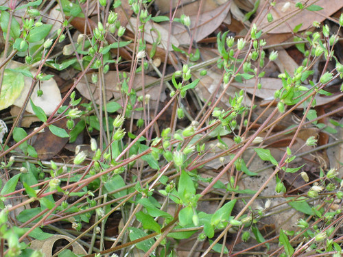 Chickweed2seed
