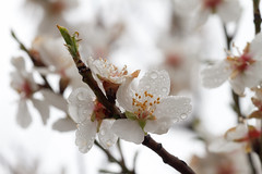 White is beautiful (Karmen Smolnikar) Tags: flowers white tree nature rain drops almond raindrops blooming fotocompetitionbronze fotocompetitionsilver fotocompetitiongold