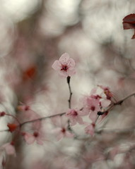 springtime colors (lydiafairy) Tags: pink flowers tree cherry spring soft branch sweet bokeh cherryblossoms cherrytree