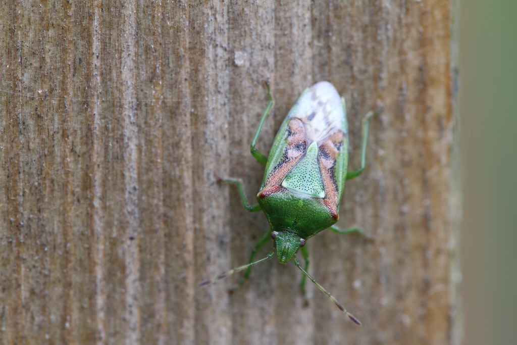 Juniper Shield Bug (Cyphostethus tristriatus)