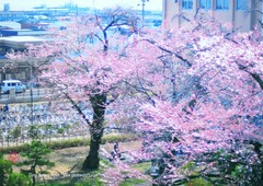 Japan University Cherry Blossoms.  (Hirosaki Japan).  Glenn Waters.  1,200 visits to this photo.  Thank you. (Glenn Waters in Japan.) Tags: school trees beautiful bike bicycle japan reflections japanese 50mm spring nikon university bokeh bicycles explore aomori  sakura cherryblossoms hirosaki  japon ais f12     explored  nikkor d700 nikond700  nikkor50mmaisf12 glennwaters f12 photosjapan