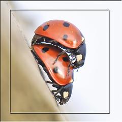 Spring Passion I - Coccinelle (mayaplus) Tags: macro nature bug garden insect nikon norfolk ladybird coccinelle d90 supereco buzznbugz macrolife