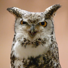 Oberon, a Great Horned Owl (njchow82) Tags: portrait male bird nature closeup wildlife raptor owl oberon birdofprey greathornedowl injured potofgold avianexcellence worldofanimals njchow82 dmcfz35 ambassadorofthecwrs