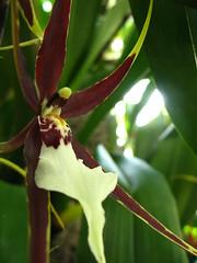 Orchid show 2010: x Miltassia
