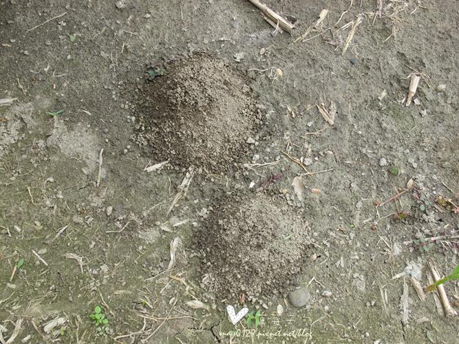 灌蟋蟀44-2010.04.05