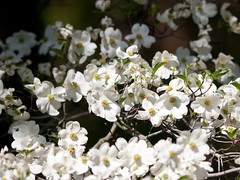 Cornus florida 'Springtime' (--ki---) Tags: dc washington arboretum dogwood usna cornus