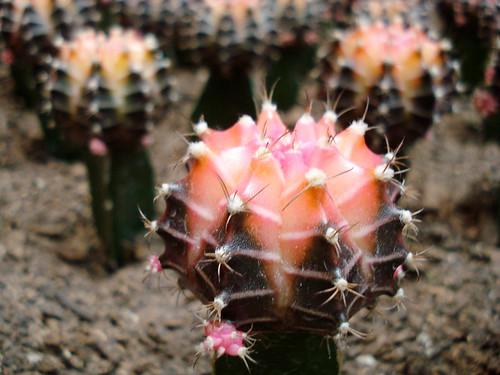 Pink petite cactus