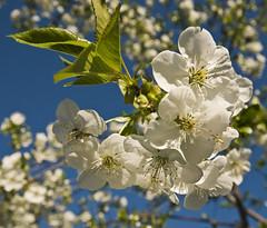 la explosión de la primavera (R.Duran) Tags: flower primavera spring nikon flor d300 sigma1020mm ltytr1