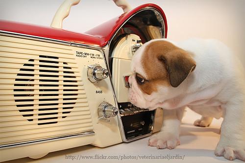 W_Bulldog_radio12