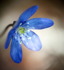 Out of the blue (Pirotek) Tags: macro awesome blossoms sigma objectifs raynoxdcr250 masterphotos sigma18200f3563dc macromix baguesetfiltres saisaintdalmasdevaldeblore