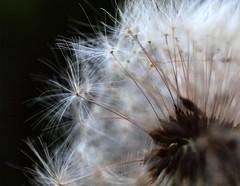 Bad hair day (katrin glaesmann) Tags: flower macro clock close hannover dandelion botanicalgarden dandelionclock löwenzahn pusteblume blowball taraxacumofficinale herrenhausen berggarten gewöhnlicherlöwenzahn gardensofherrenhausen