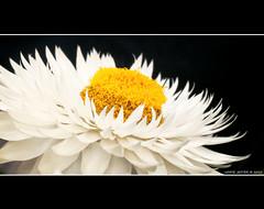 Yellow and white II (White Jester ) Tags: life plants white plant black flower macro yellow bloom geel zwart wit planten leven bloem bloei herlaar jeroenherlaar