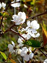 Wildkirschblten (ho.ge) Tags: cherry spring blossoms 1001nights frhling kirschblten abigfave theperfectphotographer