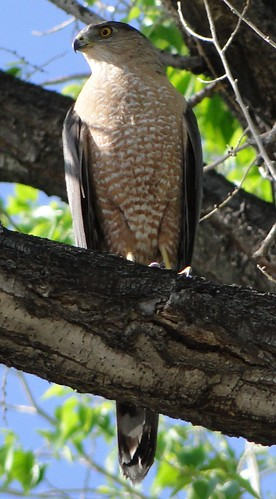 """cooper's hawk • <a style=""""font-size:0.8em;"""" href=""""http://www.flickr.com/photos/10528393@N00/4578671065/"""" target=""""_blank"""">View on Flickr</a>"""