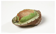 green lip abalone