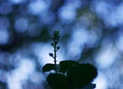 Starlight Flower Bud (mattt1970) Tags: plant flower nature dof pentax bokeh kx rikenon50mmf14