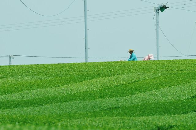 Tea plantation_31