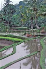 30040276 (wolfgangkaehler) Tags: bali indonesia asia rice farmers farming farmer plow ricepaddies ricefield plowing ricefields riceterraces terraced riceplanting baliindonesia terracedfield terracedfields terracedricefields terracedricefield gunungkawibali