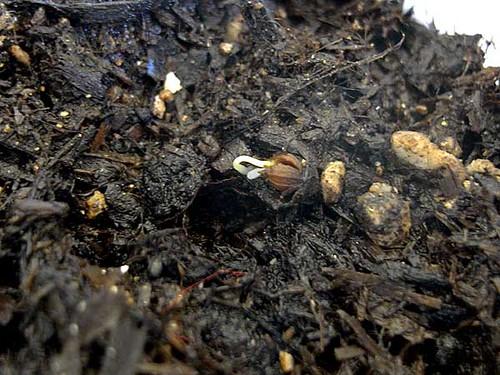 コリアンダーの芽