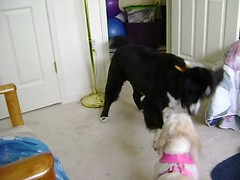 Our First Play Date (Sheri in Reho) Tags: friends dog dogs collie funny friendship sweet shih tzu border neglected jazz missy playdate