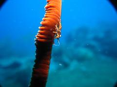 Zanzibar Shrimp