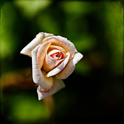 tiny rose