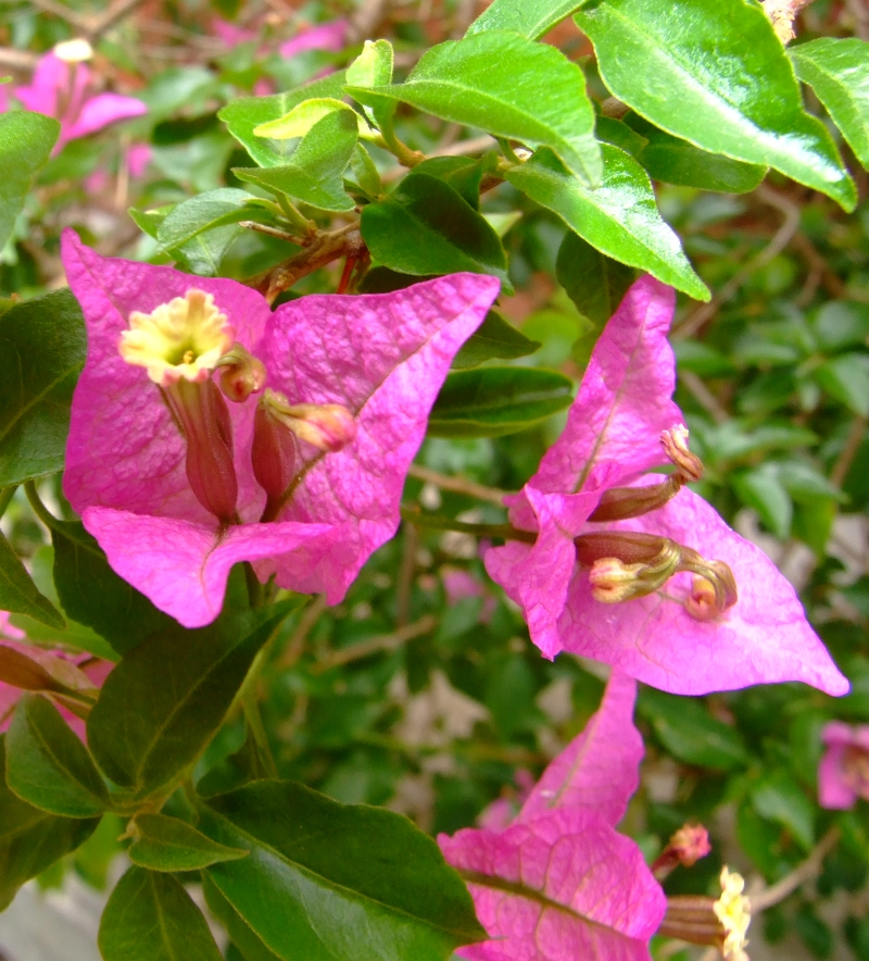 bougainvellea flowering