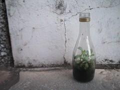 plant in a bottle (Sil Falqueto) Tags: plant planta terrarium suculent graptopetalum terrrio bottledplant