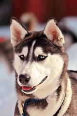 Husky portrait (Tambako the Jaguar) Tags: portrait dog cute face switzerland nikon husky canine sled wallis d300 thegalaxy oberwald