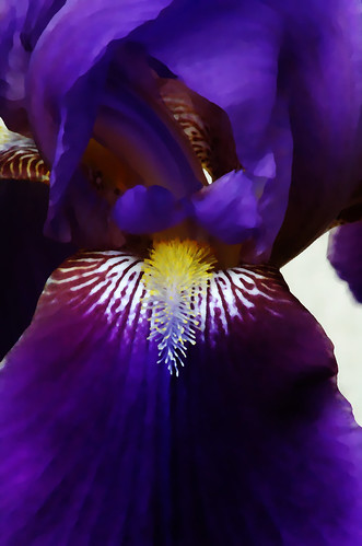 Iris in the style of O'Keefe