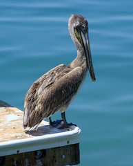 Brown Pelican (Slybacon) Tags: brown bird animal mexico pelican seashore cabosanlucas