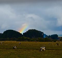 Rainbow & Cows (.Alejandro_Vega) Tags: chile sky field rain clouds cow lluvia rainbow country cielo nubes campo biobio vaca arauco bobo arociris