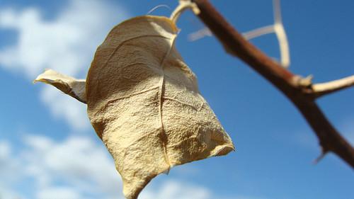 Dead Bouganvilla Leaf