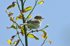 Willow Warbler (Phylloscopus trochilus) in a Tree at Bempton Cliffs (Cropped Version) (Steve Greaves) Tags: brown tree male green bird nature coast countryside bush branch display bokeh song wildlife yorkshire version aves naturalhistory melody naturereserve crop sing perch vegetation cropped avian warbler songbird territorial rspb melodious bemptoncliffs 2xteleconverter passerine willowwarbler phylloscopustrochilus nikond300 globalbirdtrekkers nikonafsii400mmf28ifedlens