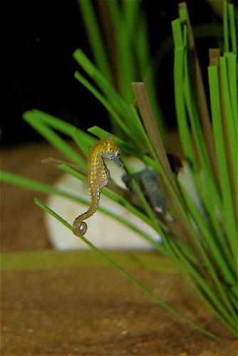 teeny seahorse